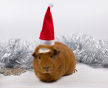 Cute funny guinea pig wearing a Santa hat and Christmas decorations (against a white background)