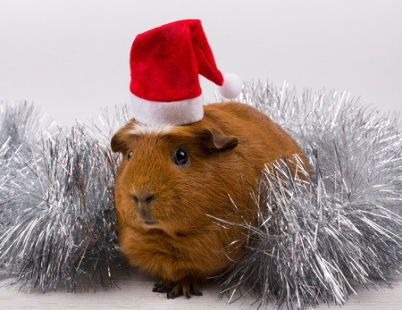 Silver tinsel and a cute funny guinea pig wearing a Santa hat (against a white background)