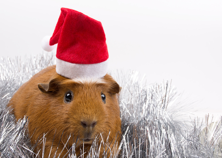 Cute funny guinea pig wearing a Santa hat among silver tinsel (against a white background), copy space on the right for your text