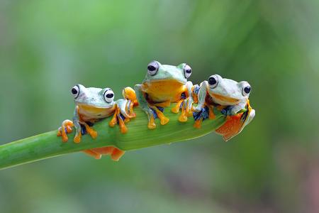 Photo pour Tree frog, Javan tree frog - image libre de droit