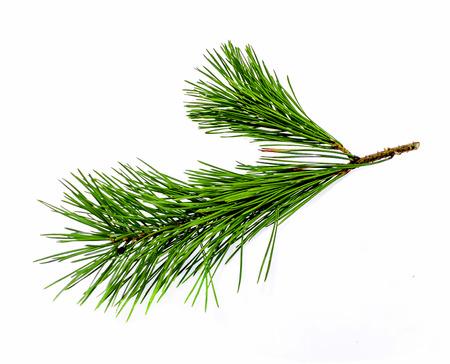 Foto de A branch of a coniferous tree and a cone on a white background - Imagen libre de derechos
