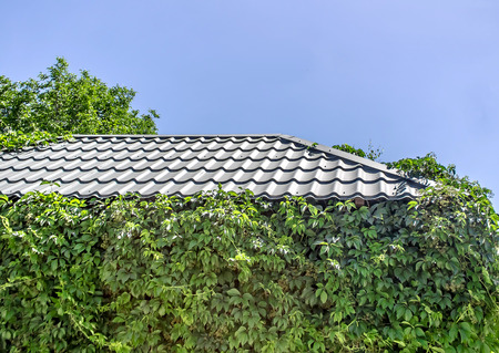 Photo pour The roof of the house overgrown with wild grapes - image libre de droit