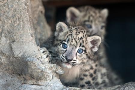 Photo pour Snow leopard baby portrait - image libre de droit