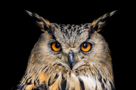 Photo pour Portrait of eagle owl on black background - image libre de droit