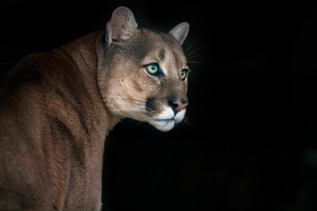 Photo pour Puma, cougar portrait on black background - image libre de droit