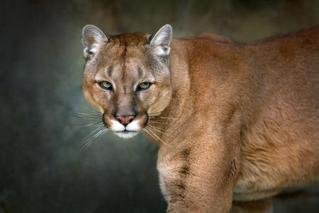Photo pour Mountain lion , cougar, puma portrait in motion on dark background - image libre de droit
