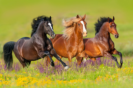 Photo pour Horses run gallop in flower meadow - image libre de droit