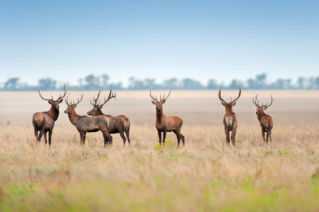 Photo pour Deer herd in autumn pasture - image libre de droit