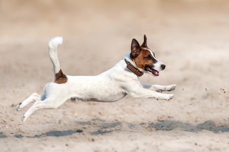 Photo pour Jack russell terrier run and jump on beach - image libre de droit