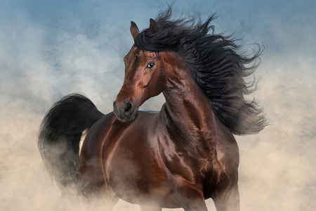 Foto de Bay stallion with long mane run - Imagen libre de derechos