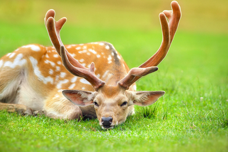 Foto de Beautiful deer rest on spring meadow - Imagen libre de derechos