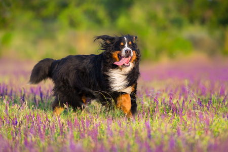 Photo pour Bernese Mountain Dog run in violet flowers field - image libre de droit