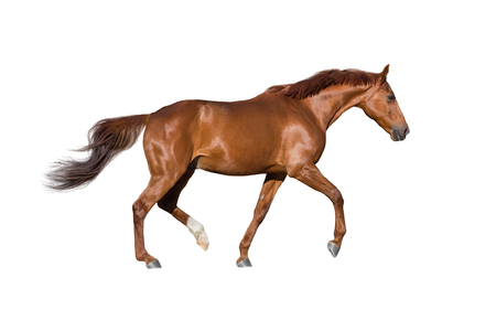 Foto de Red horse run gallop isolated on white - Imagen libre de derechos