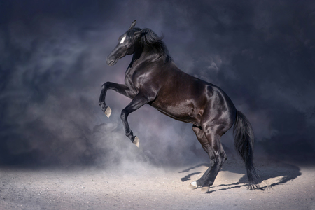 Photo for Black stallion rearing up in dark background - Royalty Free Image