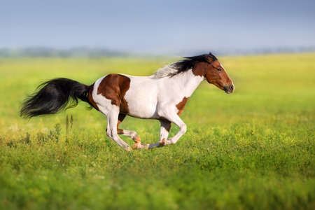 Foto de Bay pinto horse run fast in green spring meadow - Imagen libre de derechos