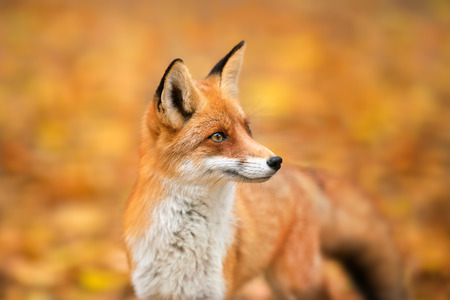 Photo pour Red Fox - Vulpes vulpes, close-up portrait with bokeh of autumn trees in the background - image libre de droit