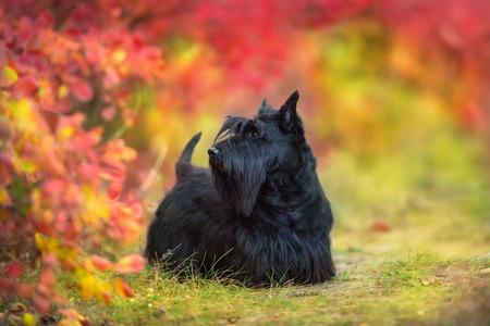 Photo pour Scottish Terrier close up portrait in autumn forest - image libre de droit