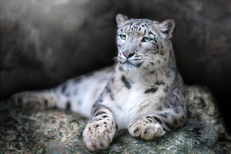 Foto de Frontal Portrait of a Snow Leopard lay on a rock against a Black Background - Imagen libre de derechos
