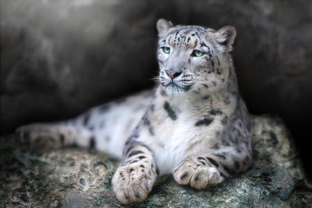 Photo pour Frontal Portrait of a Snow Leopard lay on a rock against a Black Background - image libre de droit