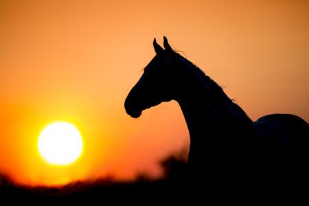 Photo pour Horse silhouette on sunset background - image libre de droit