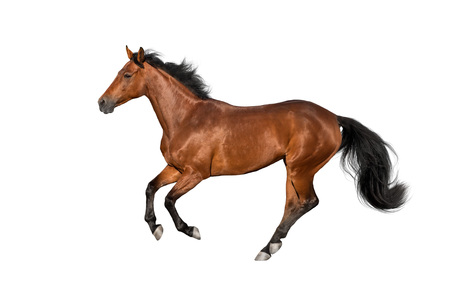 Photo for Bay stallion run gallop isolated on white - Royalty Free Image