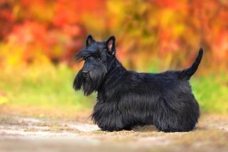 Photo pour Scottish Terrier portrait in fall landscape - image libre de droit