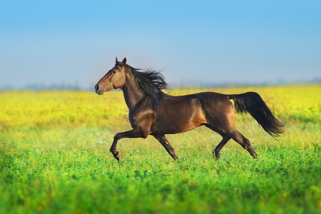 Foto de Bay trotter stallion run gallop in  spring meadow - Imagen libre de derechos