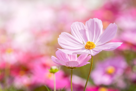 Photo for beautiful pink cosmos flower in garden, pastel tone - Royalty Free Image