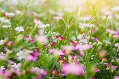 Foto für Beautiful Babysbreath gypsophila flowers on green meadow - Lizenzfreies Bild
