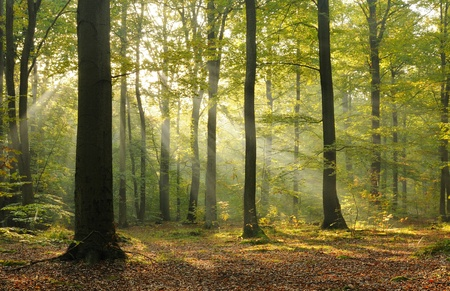 Autumn dawn in old beech forest. Central Poland.