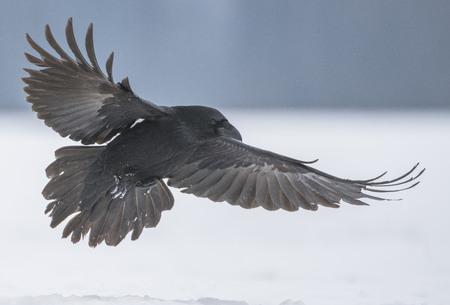 Foto de Common Raven (Corvus corax) - Imagen libre de derechos