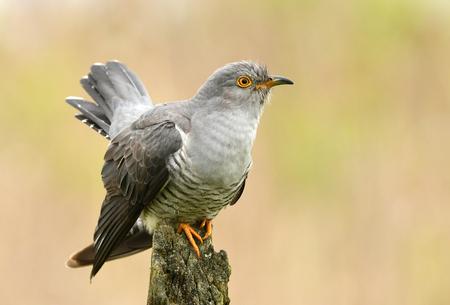 Photo pour Common cuckoo (Cuculus canorus) - image libre de droit