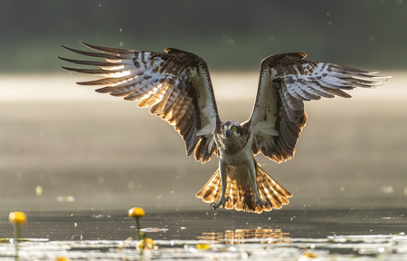 Foto de Osprey (Pandion haliaetus) - Imagen libre de derechos