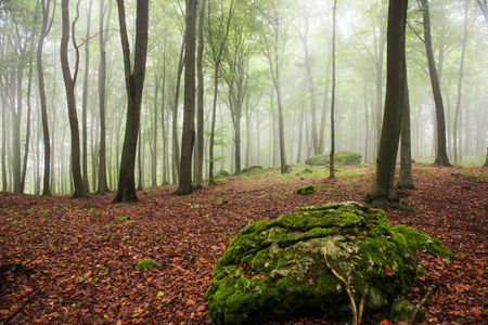 Photo for Morning in the foggy forest - Royalty Free Image
