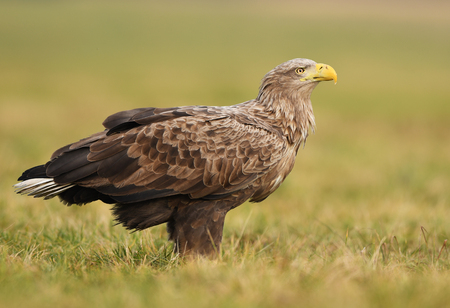 Photo for White tailed eagle (Haliaeetus albicilla) - Royalty Free Image