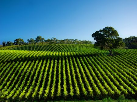 Photo for Beautiful Vineyard Landscape with large gum tree - Royalty Free Image