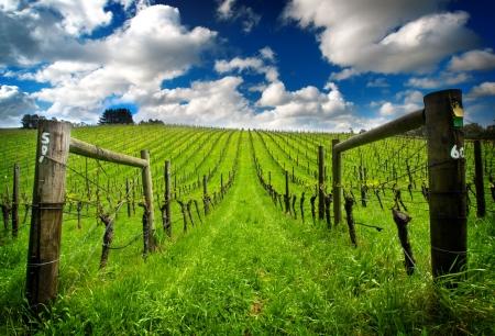 Photo pour Vineyard in the Adelaide Hills - image libre de droit