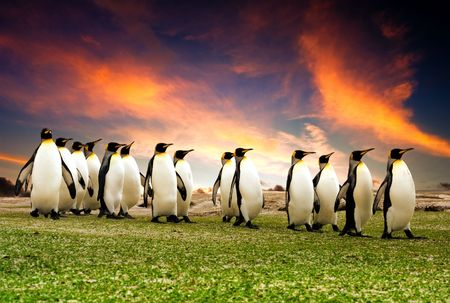 Foto de King Penguins in the Falkland Islands - Imagen libre de derechos