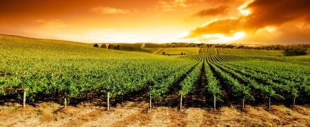 Photo pour Gorgeous sunset over beautiful green vines - image libre de droit
