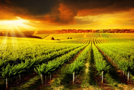 Photo for A Beautiful Sunset over a Barossa Vineyard - Royalty Free Image