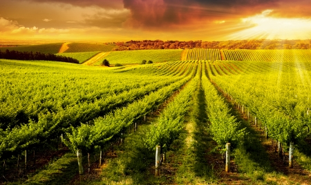 Photo for A Beautiful Sunset over vineyard in South Australia - Royalty Free Image