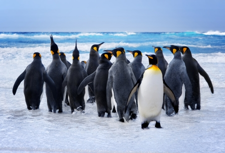 Photo for King Penguins heading to the water in the Falkland Islands - Royalty Free Image