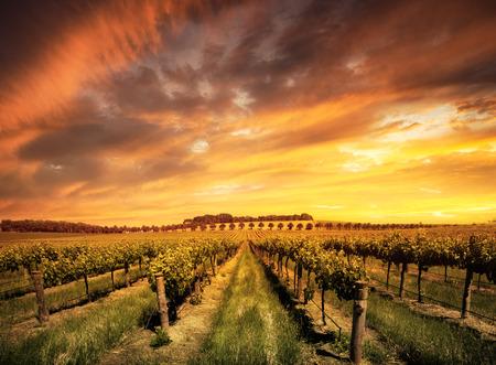 Photo pour Vineyard in the Barossa Valley, South Australia - image libre de droit