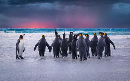 Foto de King Penguins in the Falkland Islands - Imagen libre de derechos