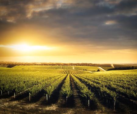 Photo pour Vineyard in the Adelaide Hills, South Australia - image libre de droit