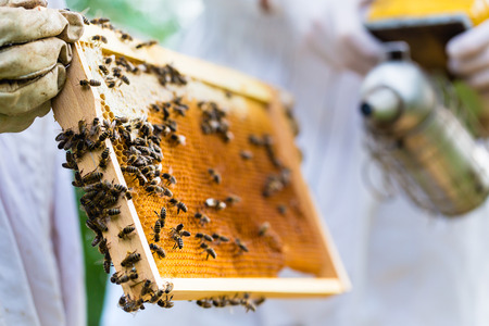 Beekeeper with smoker controlling beehive and comb frame