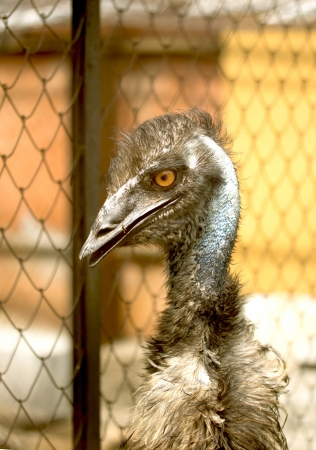 Portrait of an emu, the largest  bird