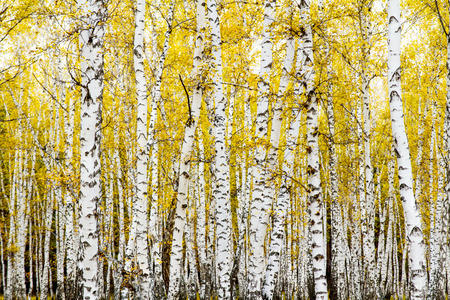 Photo for yellow autumn birch forest - Royalty Free Image