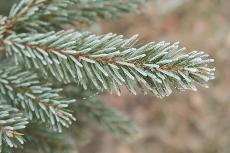 Photo for spruce with needles on needles close-up - Royalty Free Image