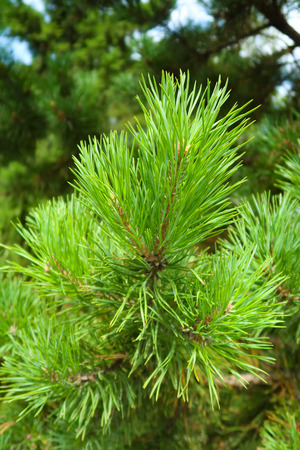 Photo for large green needles of a tree spruce - Royalty Free Image